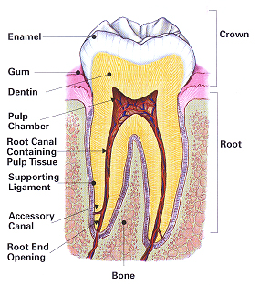 endodontic treatment image